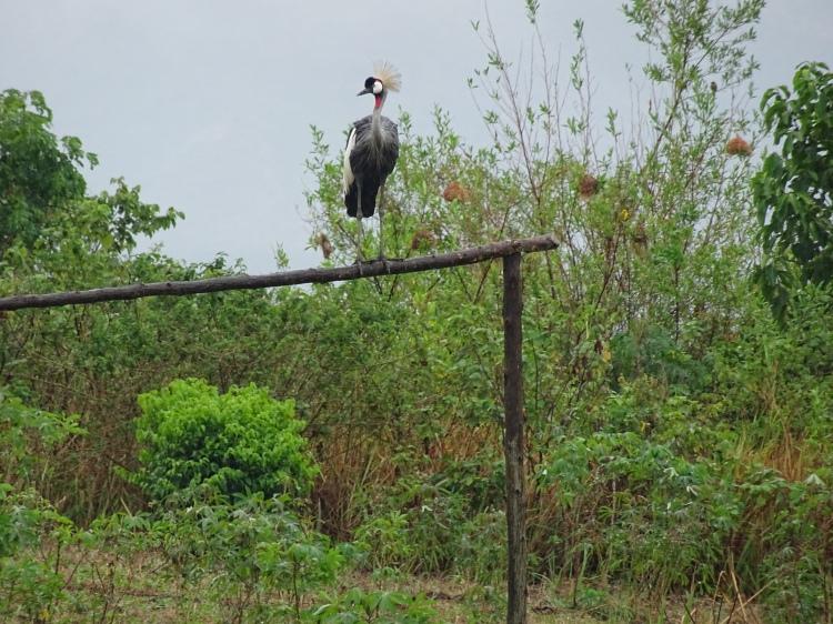 Crested Crane .JPG